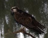 Osprey on a branch.jpg