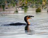 Cormorant Swallowing a Fish.jpg