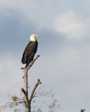 Eagle on the Perch.jpg