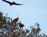 Eagle Screaming at a Black Vulture.jpg