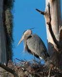 Great Blue Heron on the Nest.jpg