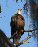 Bald Eagle on a Branch.jpg