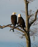 Bald Eagle Couple on Alligator Alley.jpg