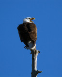 Bald Eagle Cry.jpg