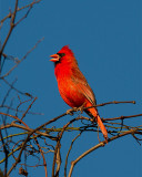 Cardinal Singing.jpg