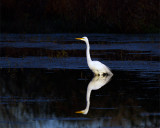 Egret Reflection.jpg