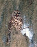 Owl Yawning.jpg