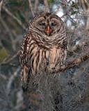 Barred Owl Yawning.jpg