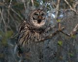 Owl Hooting.jpg