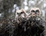 Great Horned Owl Chicks.jpg
