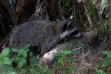 Racoon in the woods.jpg