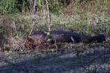Gator on a Log.jpg
