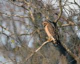 Red Shoulder Hawk.jpg