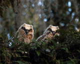 Great Horned Owl Fledglings.jpg