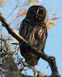 Barred Owl at the Crossroads.jpg