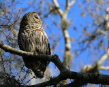 Barred Owl at Sunset.jpg