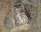 Barred Owl Hiding.jpg