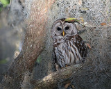 Barred Owl in the Tree.jpg