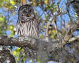 Barred Owl on a Branch.jpg