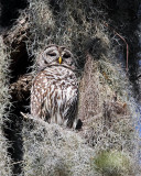 Barred Owl Perched.jpg