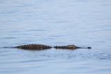 Gator in Lake Hancock.jpg