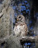 Barred Owl at Circle B.jpg