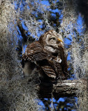 Barred Owl Preening.jpg