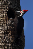Pilleated Woodpecker at the Nest.jpg