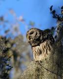 Barred Owl Parent.jpg
