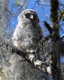 Barred Owl Chick Runt.jpg