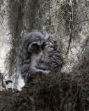 Barred Owl Chick Preening.jpg