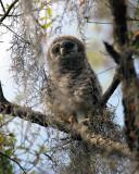 Barred Owl Smaller Chick.jpg
