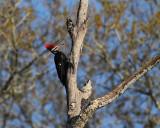 Pilleated Woodpecker in a Dead Tree.jpg