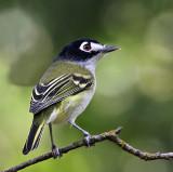 Tyrant Flycatchers, Shrikes & Vireos