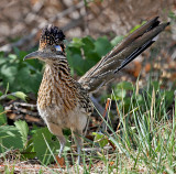 Pigeons, Doves, Cuckoos & Roadrunners
