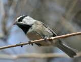 Chickadees, Titmice, Creepers, Nuthatches & Wrens