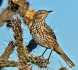 Thrashers, Starlings, Pipits & Waxwings