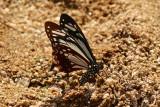 Papilio agestor agestor