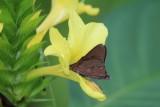 Asbolis capucinus