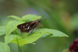 Calpodes ethlius