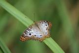 Anartia jatrophae