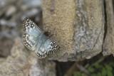 Pyrgus oileus