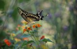 Giant Swallowtail nectaring on lantana