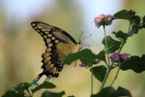 Giant Swallowtail - evening shot