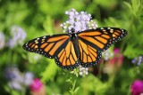 Female Monarch ready to migrate,