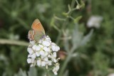 'Siva' Juniper Hairstreak