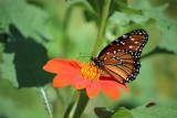 Female Queen on Tithonia