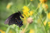 Eastern Black Swallowtail nectaring