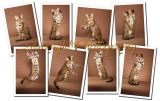 Bengal Cat Collage