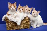 Kittikat kittens (Selkirk Rex)